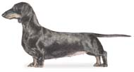 Dachshund, a Common Popular Small Hound  Dog Breed