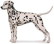 Dalmatian, a Popular Large Utility  Dog Breed