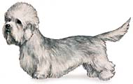 Dandie Dinmont Terrier, a Small Terrier  Dog Breed