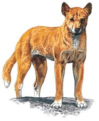 Dingo, a Medium Working  Dog Breed