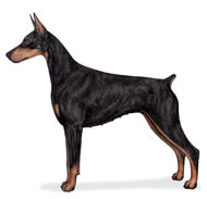 Doberman Pinscher, a Common Popular Large Utility  Dog Breed