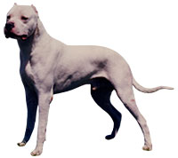 Dogo Argentino, a Large  Dog Breed