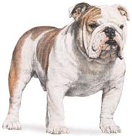 English Bull Dog, a Common Popular Small Utility  Dog Breed