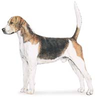 English Fox Hound, a Large Hound  Dog Breed