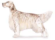 English Setter, a Medium Gun  Dog Breed