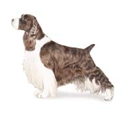 English Springer Spaniel, a Medium Gun  Dog Breed