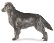 Flat Coated Retriever, a Medium Gun  Dog Breed