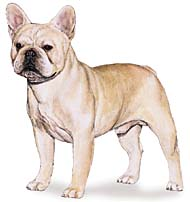 French Bull Dog, a Common Popular Small Utility  Dog Breed