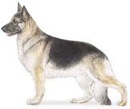 German Shepherd, a Common Popular Large Working  Dog Breed