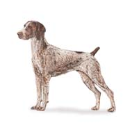 German Shorthaired Pointer, a Large Gun  Dog Breed