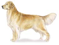 Golden Retriever, a Common Popular Large Gun  Dog Breed