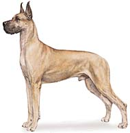 Great Dane, a Giant Working  Dog Breed