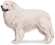 Great Pyrenees, a Large Utility  Dog Breed
