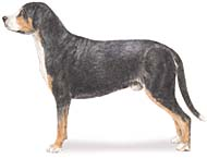 Greater Swiss Mountain Dog, a Medium  Dog Breed