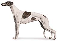 Greyhound, a Common Popular Medium Hound  Dog Breed