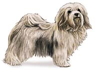 Havanese, a Small Toy  Dog Breed
