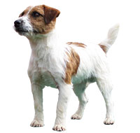 Jack Russel Terrier, a Common Small Terrier  Dog Breed