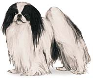 Japanese Chin, a Small Toy  Dog Breed
