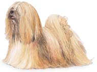 Lhaso Apso, a Small Utility  Dog Breed