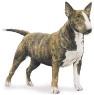 Miniature Bull Terrier, a Small  Dog Breed