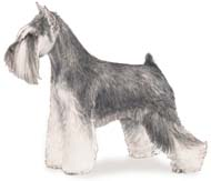 Miniature Schnauzer, a Common Popular Small Terrier  Dog Breed