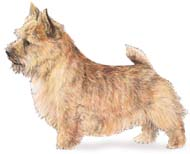 Norwich Terrier, a Small Terrier  Dog Breed