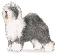 Old English Sheepdog, a Popular Large Working  Dog Breed