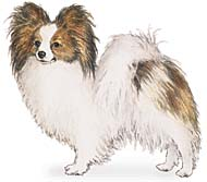 Papillon, a Small Toy  Dog Breed