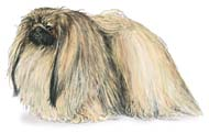 Pekingese, a Small Toy  Dog Breed