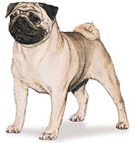 Pug, a Common Popular Small Toy  Dog Breed