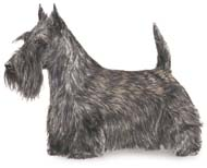 Scottish Terrier, a Common Popular Small Terrier  Dog Breed