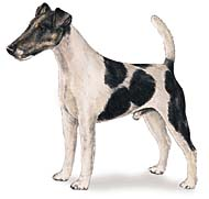 Smooth Fox Terrier, a Small Terrier  Dog Breed