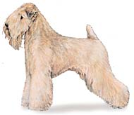 Soft Coated Wheaten Terrier, a Small Terrier  Dog Breed