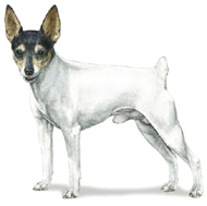 Toy Fox Terrier, a Small Toy  Dog Breed