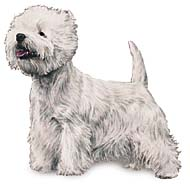 West Highland White Terrier, a Common Popular Small Terrier  Dog Breed