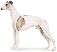 Whippet, a Small Hound  Dog Breed