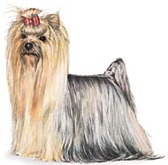 Yorkshire Terrier, a Small Toy  Dog Breed
